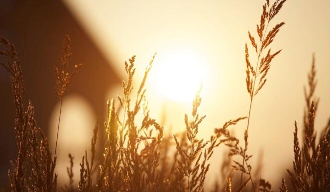 golden-grass